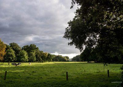 Wiese mit Kühen im Bürgerpark Bremen