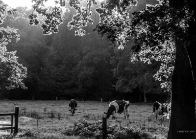 Kühe im Bürgerpark Bremen